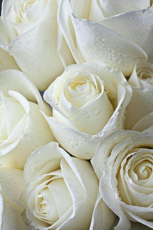 White Garden Rose 603 best roses roses roses images on pinterest | flowers, pretty