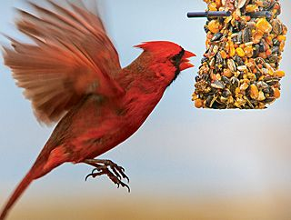 What Do Cardinals Eat How To Attract Cardinals Home