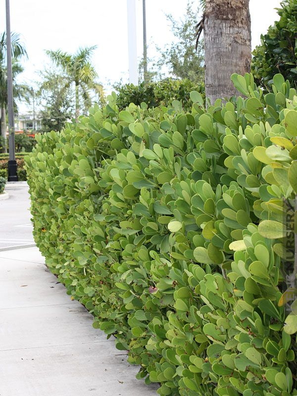 Tropical Hedge Autograph Tree Clusia Rosea