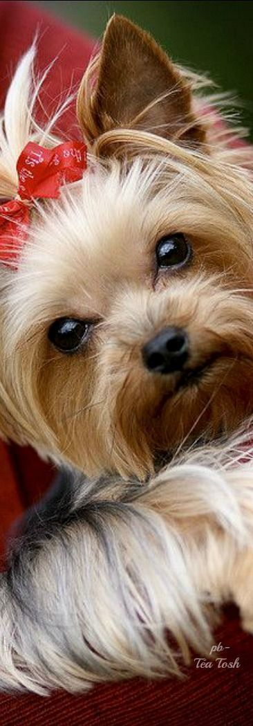 Yorkie coming in for a kiss