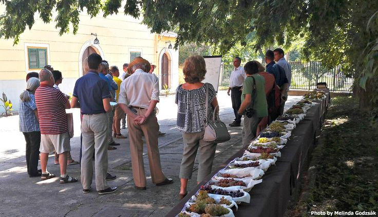 TARCAL GRAPE EXHIBITION SHOWCASES PRE-PHYLLOXERA VARIETIES http://www.tokajtoday.com/2016/09/10/tarcal-grape-exhibition-showcases-pre-phylloxera-varieties/