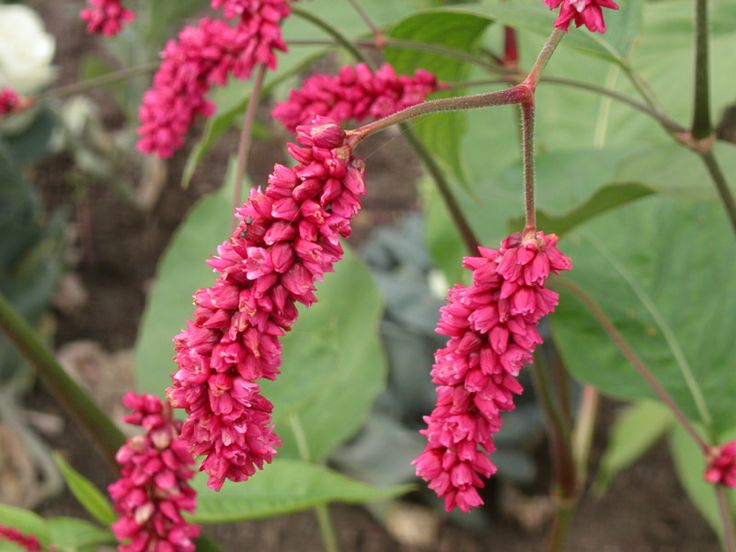 60 Best Images About Persicaria On Pinterest Gardens Plants And White Dragon