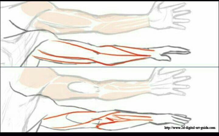 Arm muscle anatomy - how to draw
