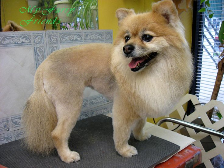 pomeranian haircuts styles before and after pomeranian haircuts fabulous dogs 2516