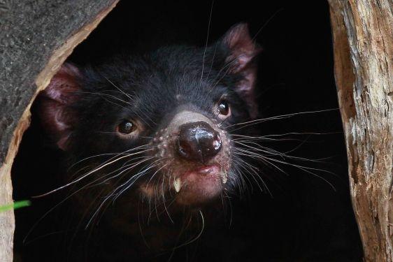 La república independiente de Tasmania. Un diablo de Tasmania se asoma desde su madriguera ubicada en el zoo de Sidney, en Australia.