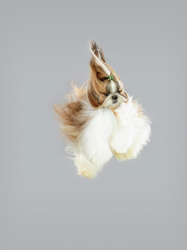 jumping shih-tzu                                                                                                                                                                                 More