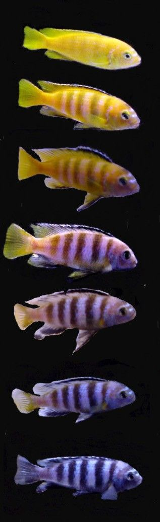 Pseudotropheus saulosi - male adolescent matures to adult breeding colors