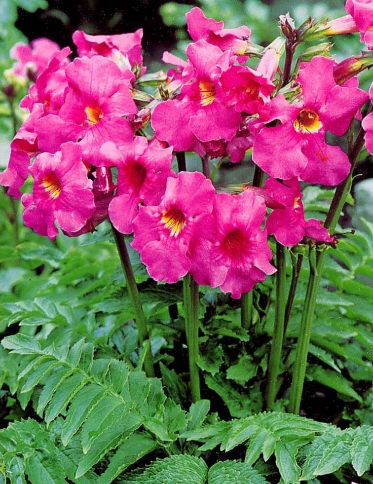 75 best plants i love images on pinterest plants annual for Hardy flowering trees
