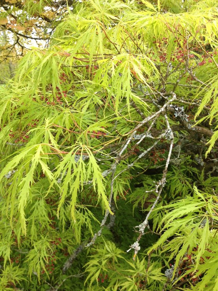 Feather Like Leaves On A Acer Palmatum Amazing Trees