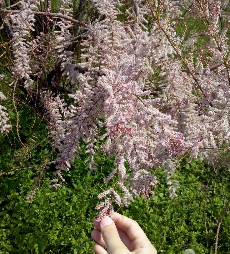 Lovely pink - it`s Tamarisk