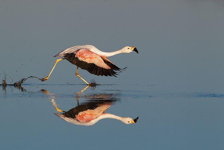 Andean Flamingo running along lake surface to take flight, Chaxa Lake, Los Flamencos National Reserve, Chile