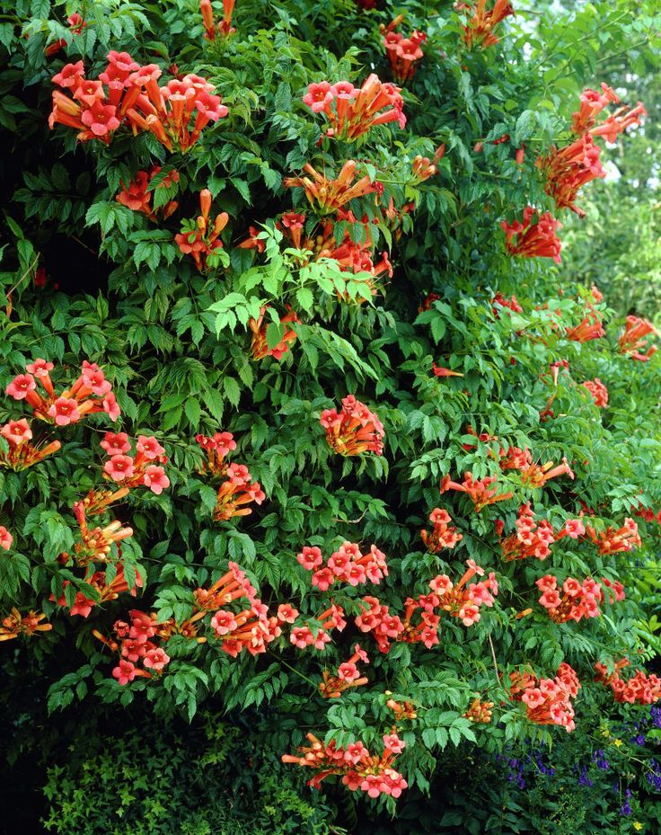 Trumpet honeysuckle • Campsis radicans • Trumpet creeper • Trumpet vine • Plants & Flowers • 99Roots.com