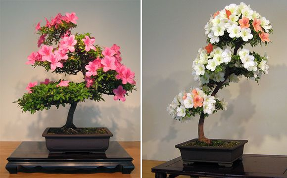 pictures of different types of bonsai trees | Types of Bonsai Trees. I think I've gone bonsai crazy.