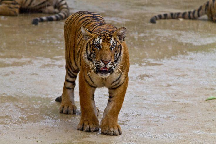 Thajsko - kočička