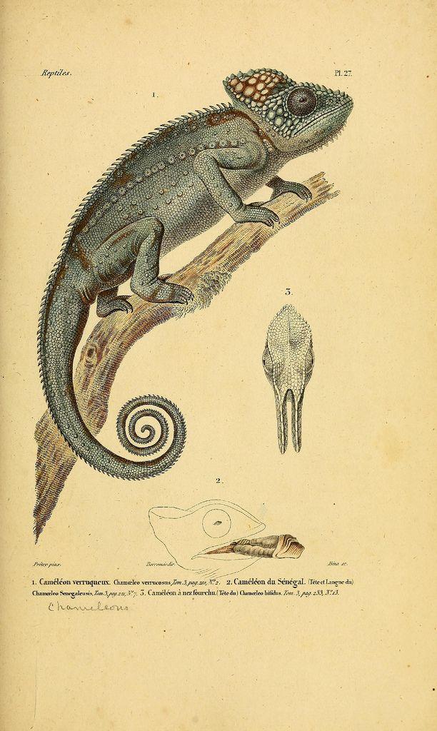 Illustrations from 'Erpétologie Générale, Histoire Naturelle Complète des Reptiles'  by AMC Duméril & G Bibron, 1854