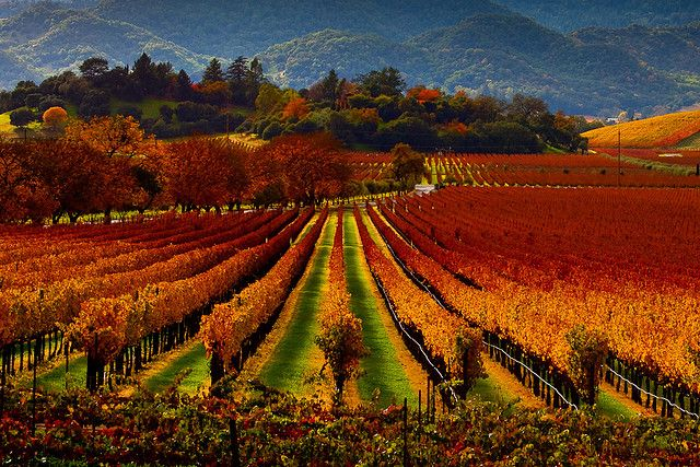 Napa Valley in the fall is absolutely gorgeous!