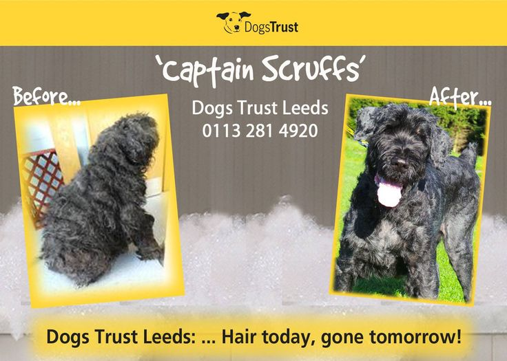 Dogs Trust Leeds is looking for a home for affectionately named 'Captain Scruff', a 10 year old Giant Schnauzer type dog who was brought into Dogs Trust Leeds after he was found abandoned on the A64.