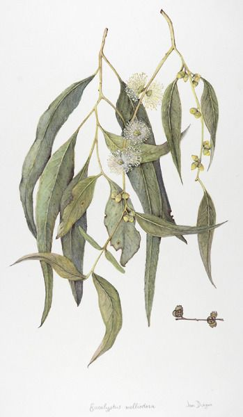 botanical drawing, botanical illustration, and eucalyptus viminalis image
