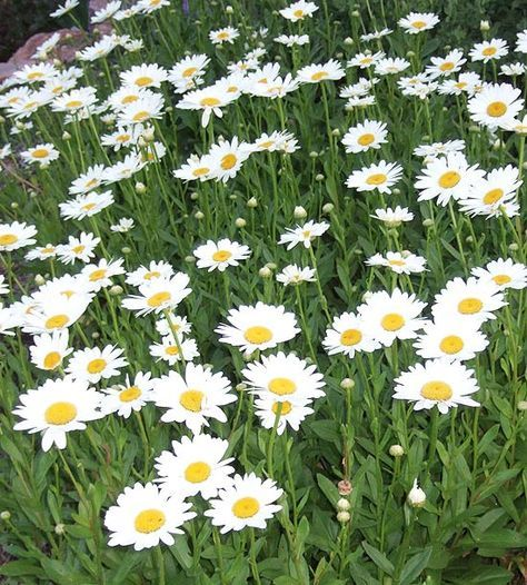 'Becky' Daisy 'Becky' deserves a place in every garden. It bears bright white flowers with cheery yellow centers from midsummer to fall. Strong stems make this daisy among the best for bouquets, too. Name: Leucanthemum 'Becky' Size: To 3 feet tall and 2 feet wide Zones: 4-9 Plant it with: Foxglove, purple coneflower, or '