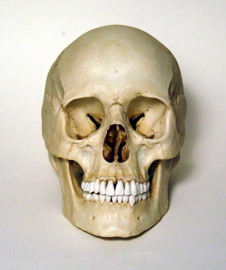 Female Human Skull Replica | Real skull, Human skull and ...