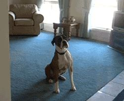 funny dogs gif. more here
