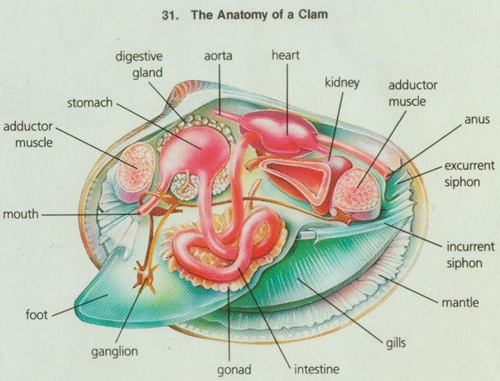 Internal anatomy of a clam