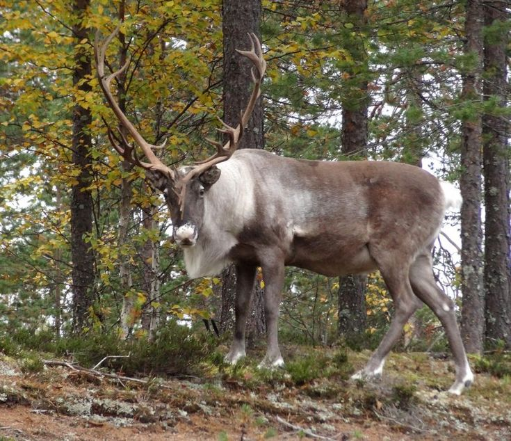 Pello - Santa Claus's reindeer land in Lapland in autumn