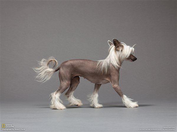 Perro Crestado Chino http://www.theyellowpet.es/4-perros