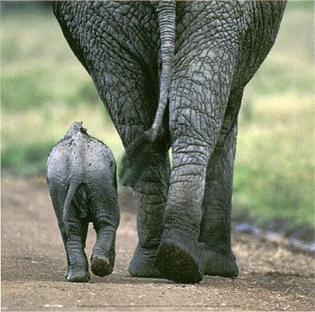 Elephants - Mother and Calf