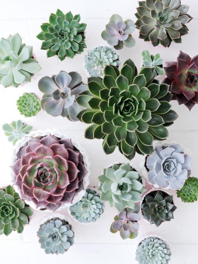 Créer un jardin rocailleux mobile d'Echeveria,(table)