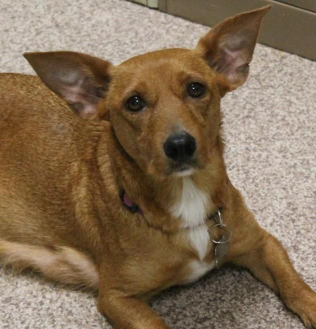 Deanna - Corg/Terrier mix - Female - 3 yrs old - Mostly Mutts - Kennesaw, GA. - https://mostlymutts.org/adoptable-animals/adoptable-dogs - https://www.facebook.com/MostlyMuttsGA/ - http://www.adoptapet.com/pet/17645338-khttps://www.petfinder.com/petdetail/37488708ennesaw-georgia-corgi-mix -
