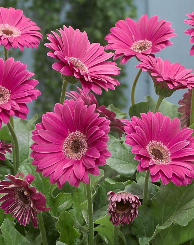 Gerbera Daisy Seeds - PASSION PINK -Attracts Butterflies & Hummingbirds-50 Seeds #theseedhouse
