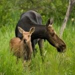 Spring Moose & Calf in Algonquin Park