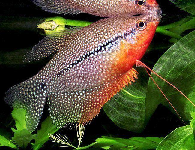 Pearl Gourami Fish Arizona Aquatic Gardens Aquariumfreshwaterfishwebsite In 2020 Fresh Water Fish Tank Aquarium Fish Fish Breeding
