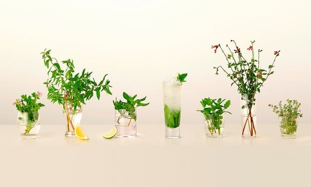 Plants for cocktails: scented geranium, lemon verbena, chocolate mint, a mint-packed mojito, Moroccan mint, blackcurrant sage and orange thyme
