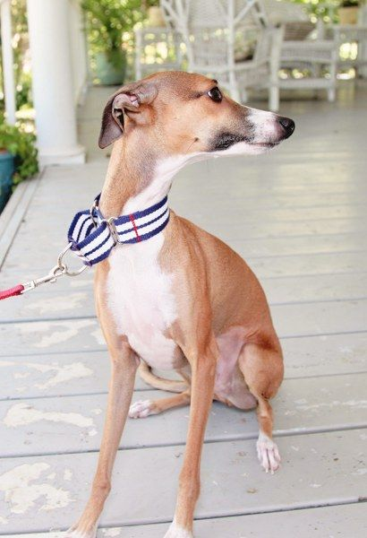 Beau and Roux's Corner- DIY Martingale Collar | My So Called Crafty Life