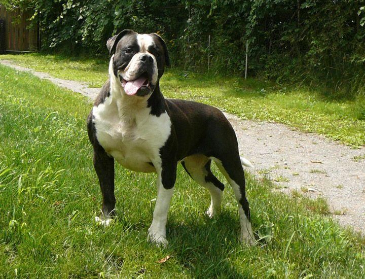 American bulldog kasha american bulldogs puppies bulldogs brooklyn