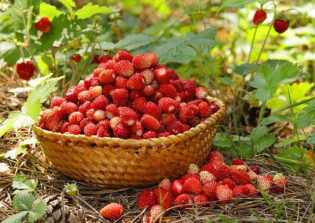 lesní jahody