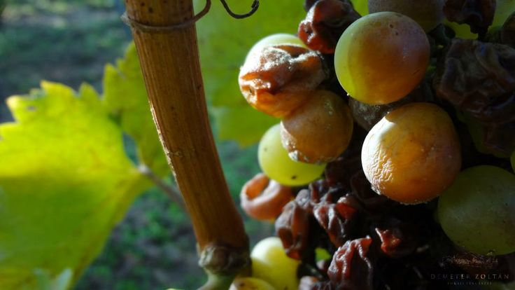 Thanks to the combination of the climatic conditions the botrytis cinerea noble mold can develop on the grapes.