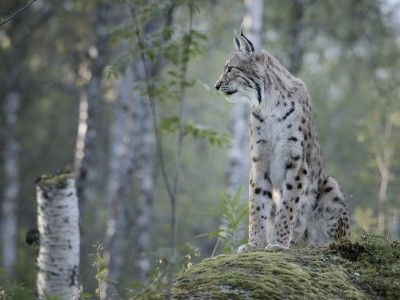 Lynx These beautiful big cats have become more common in Finland's forests in recent years, though they are hard to spot, as their excellent senses of sight, smell and hearing enable them to keep well away from humans.