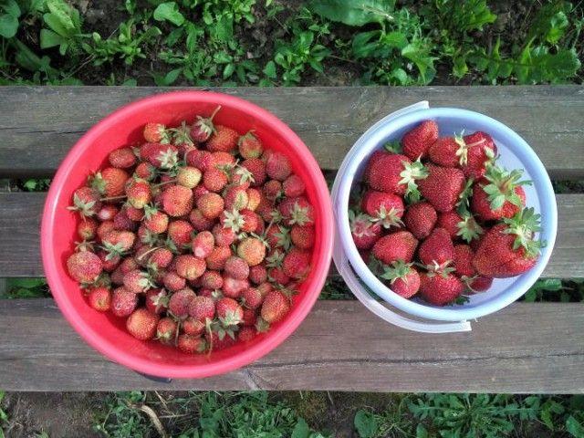 Чем подкормить клубнику после сбора урожая 0