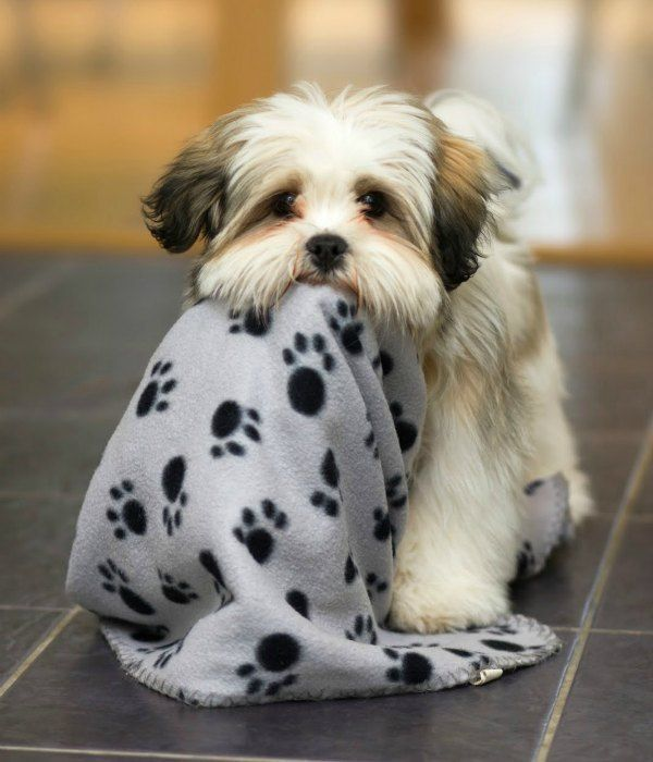 look at this cutie, Lhasa Apso !!! Reminds me of my Charlie Bear when he was just a wittle babyyyy