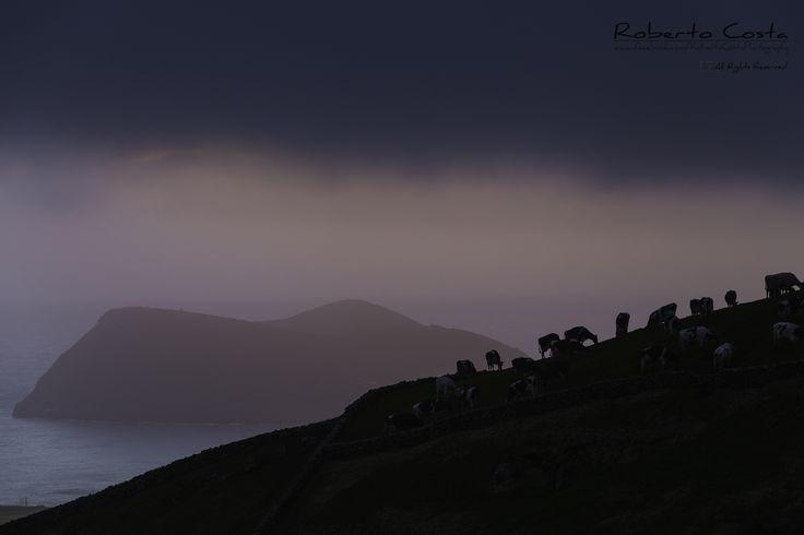 Where bulls roam freely - Terceira Island. Land of Bulls, and Where they roam freely.