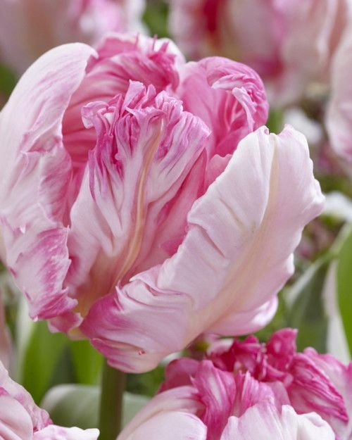 Our favorite pink Parrot Tulip has gorgeously feathered petals with green markings. Uniquely shaped and exotically striped, the Parrot Tulips are endlessly fascinating. Their vibrant colors and strong