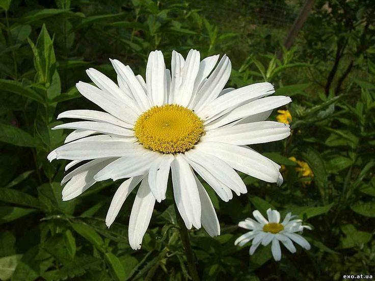ромашки садовые фото: 25 тыс изображений найдено в Яндекс.Картинках