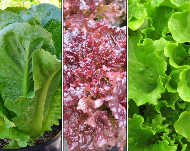 Tried & True Signature Salad Variety Pack: All of your favourite salad varieties in one convenient pack. Enjoy New Red Fire Leaf, Parris Island Romaine, and Bergam's Leaf lettuces together.