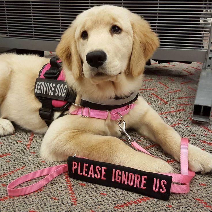 Service Dogs Guide Service Dogs Gear Service Dogs Breeds