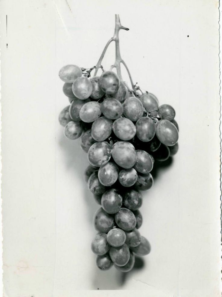 GRAPPOLO D UVA  PERGOLONE  DI ORTONA MARE-CHIETI-FOTO D EPOCA (OLD PHOTO)ANNI 20