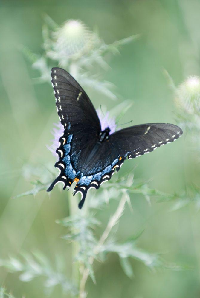 Female Swallowtail Butterfly by cliffordpugliese
