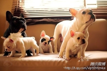 Dogs....: Frenchie Family, Animals, French Bulldogs, Pet, Frenchbulldogs, Puppy, Families